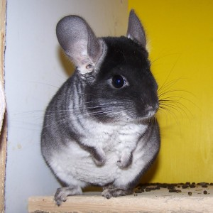 Chinchillabock Louis