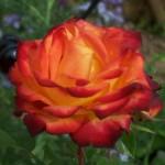 Blüte der Hochstammrose