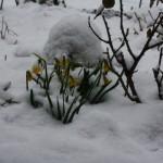 Narzissen im Schnee